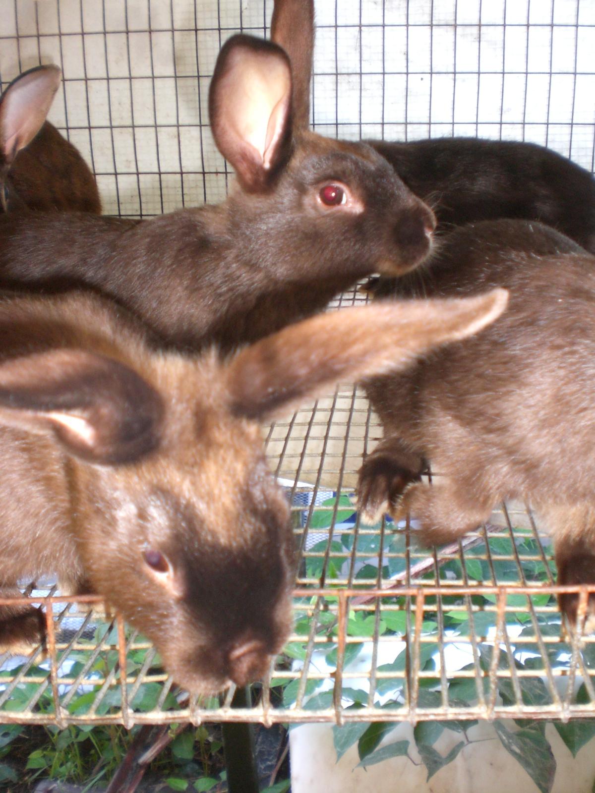 satin rabbits the ultimate dual purpose rabbit rise and shine