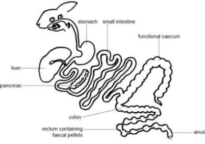 Rabbit Digestive Tract Diagram