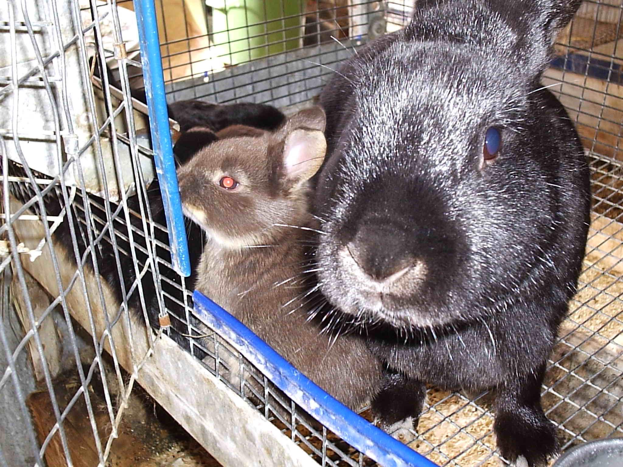 С чего начать разведение кроликов в домашних условиях 4