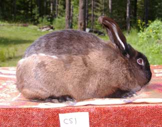 THE MOLTING CYCLE IN RABBITS | Rise and Shine Rabbitry
