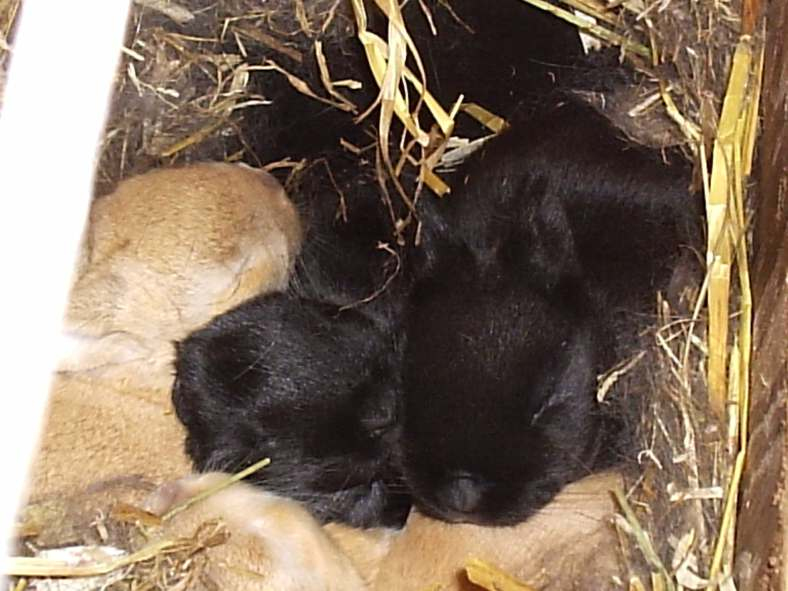 cremes fostered to a litter of black satins